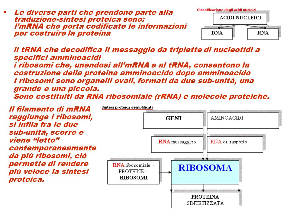 Le diverse parti che prendono parte alla traduzione-sintesi proteica sono: l'mRNA che porta codificate le informazioni per costruire la proteina