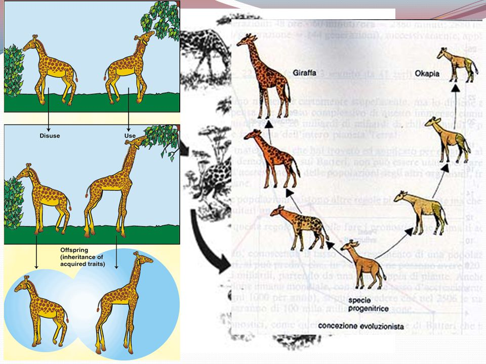 Le giraffe di Lamarck (povere talpe)