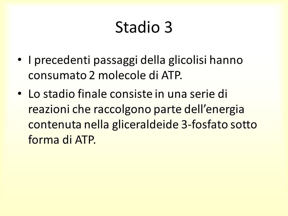 Stadio 3 I precedenti passaggi della glicolisi hanno consumato 2 molecole di ATP.