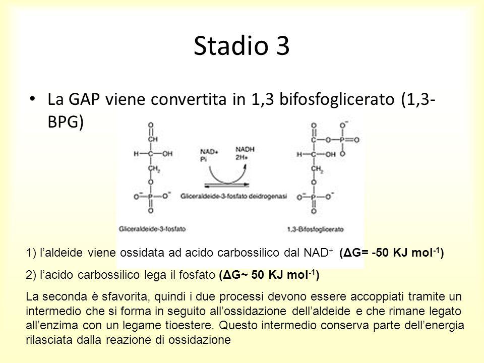 Stadio 3 La GAP viene convertita in 1,3 bifosfoglicerato (1,3-BPG)