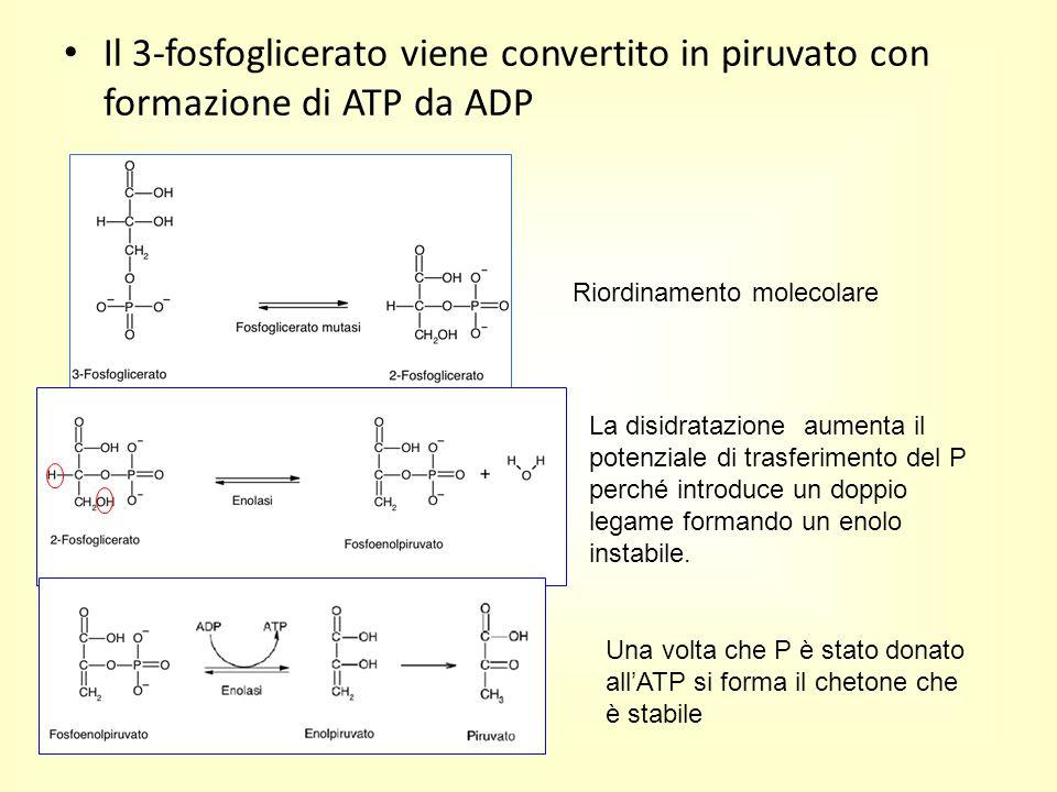 Il 3-fosfoglicerato viene convertito in piruvato con formazione di ATP da ADP