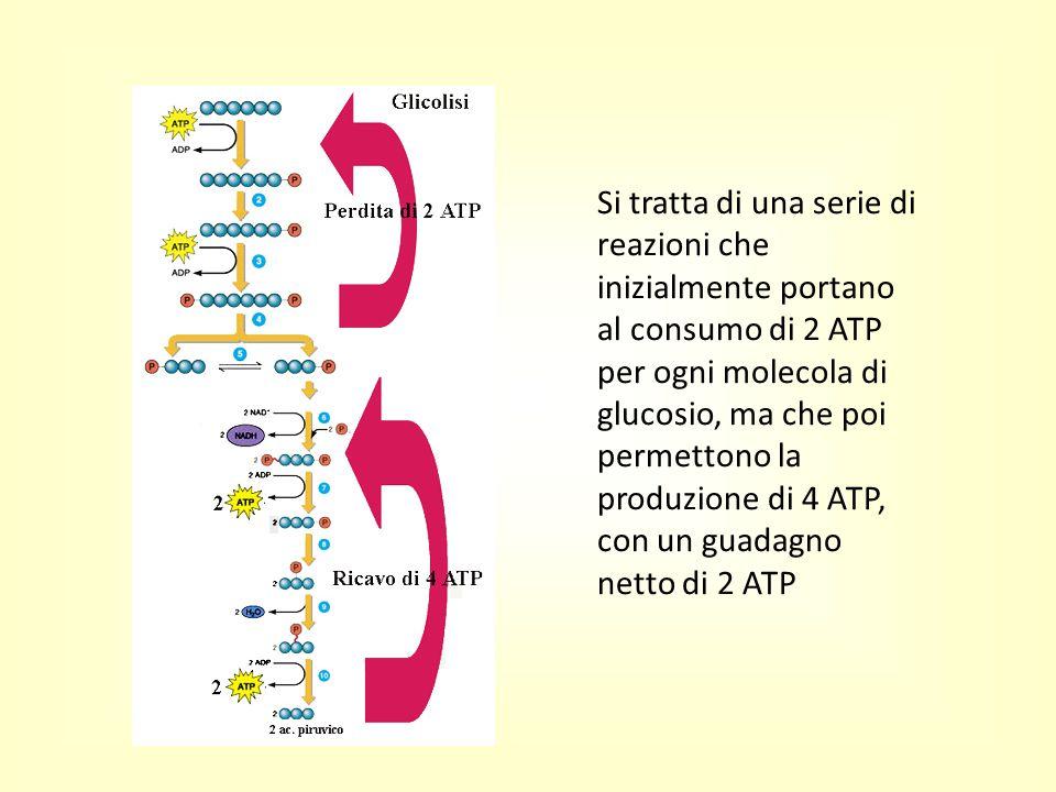 Si tratta di una serie di reazioni che inizialmente portano al consumo di 2 ATP per ogni molecola di glucosio, ma che poi permettono la produzione di 4 ATP, con un guadagno netto di 2 ATP