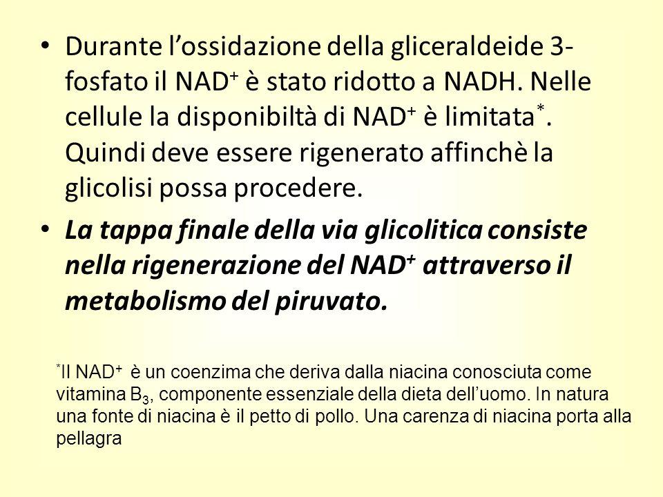 Durante l'ossidazione della gliceraldeide 3-fosfato il NAD+ è stato ridotto a NADH. Nelle cellule la disponibiltà di NAD+ è limitata*. Quindi deve essere rigenerato affinchè la glicolisi possa procedere.