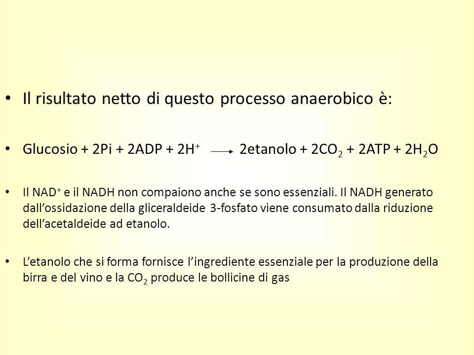 Il risultato netto di questo processo anaerobico è: