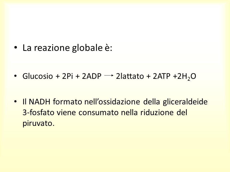 La reazione globale è: Glucosio + 2Pi + 2ADP 2lattato + 2ATP +2H2O