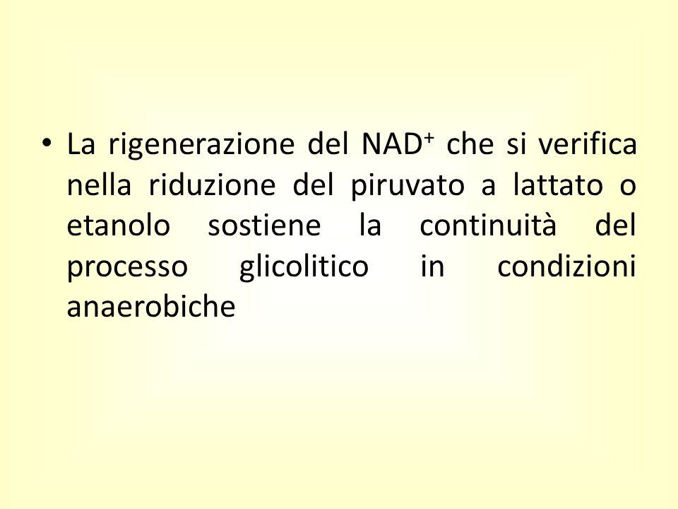 La rigenerazione del NAD+ che si verifica nella riduzione del piruvato a lattato o etanolo sostiene la continuità del processo glicolitico in condizioni anaerobiche