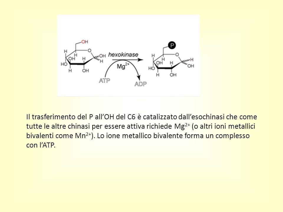 Il trasferimento del P all'OH del C6 è catalizzato dall'esochinasi che come tutte le altre chinasi per essere attiva richiede Mg2+ (o altri ioni metallici bivalenti come Mn2+).