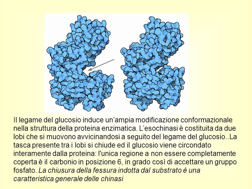 Il legame del glucosio induce un'ampia modificazione conformazionale nella struttura della proteina enzimatica.