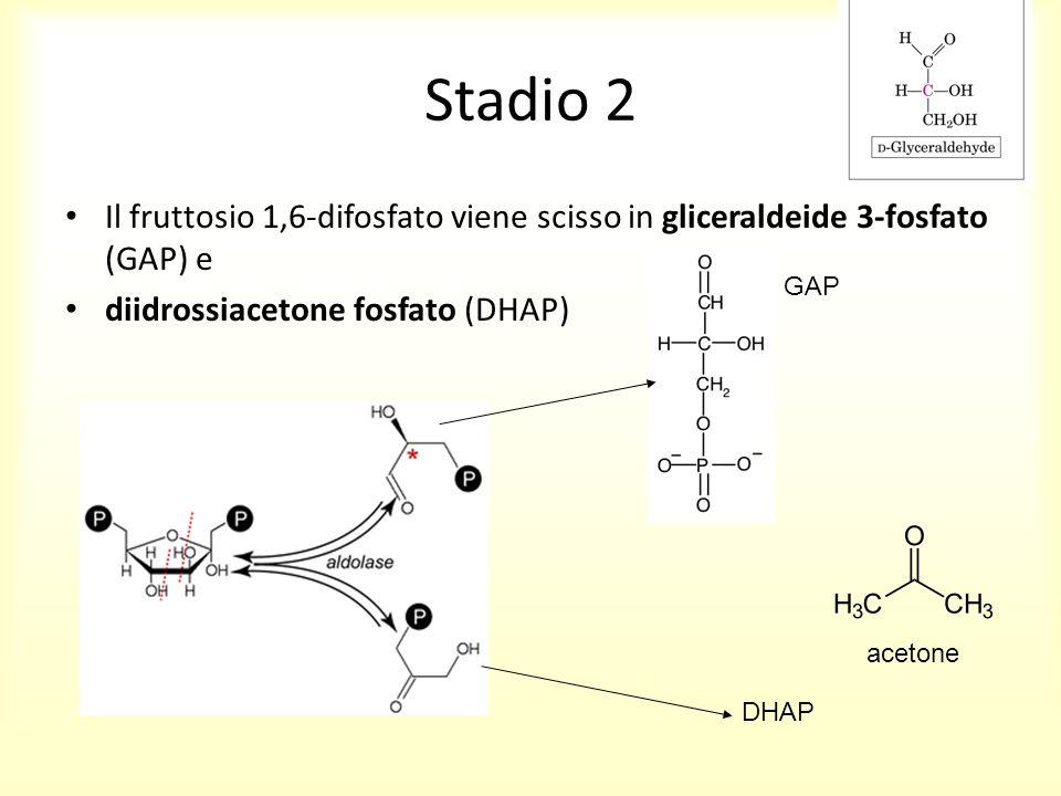 Stadio 2 Il fruttosio 1,6-difosfato viene scisso in gliceraldeide 3-fosfato (GAP) e. diidrossiacetone fosfato (DHAP)