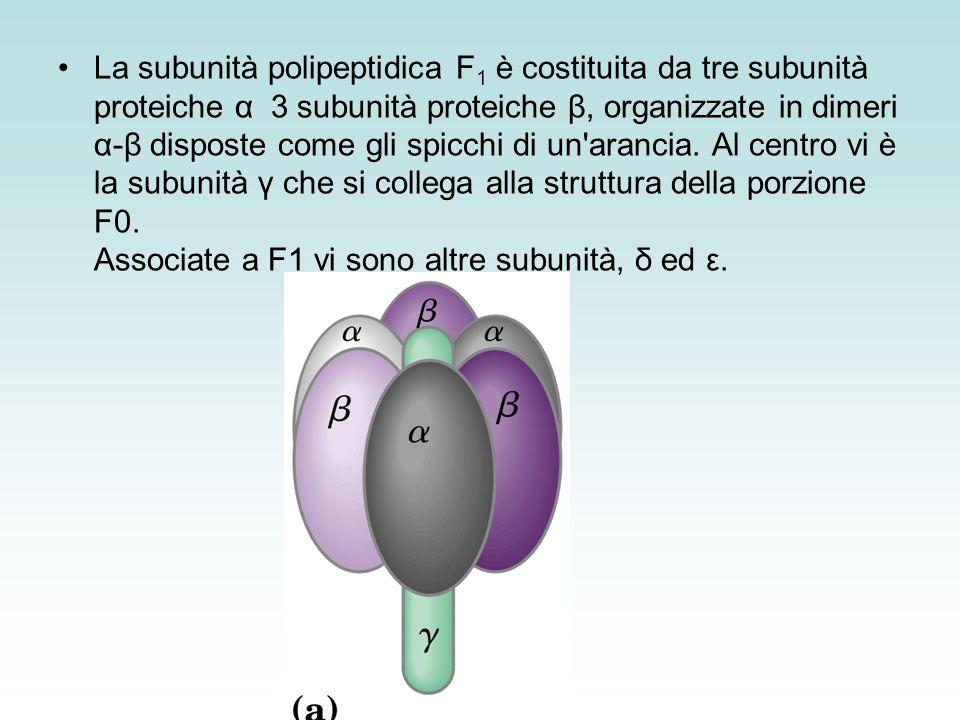 La subunità polipeptidica F1 è costituita da tre subunità proteiche α 3 subunità proteiche β, organizzate in dimeri α-β disposte come gli spicchi di un arancia.