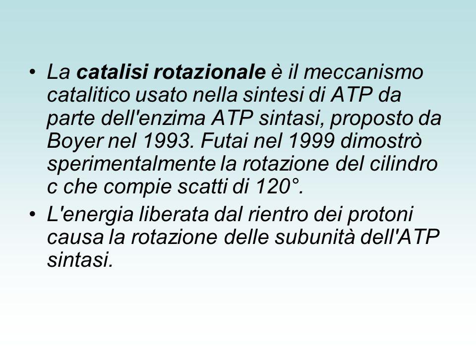 La catalisi rotazionale è il meccanismo catalitico usato nella sintesi di ATP da parte dell enzima ATP sintasi, proposto da Boyer nel 1993. Futai nel 1999 dimostrò sperimentalmente la rotazione del cilindro c che compie scatti di 120°.