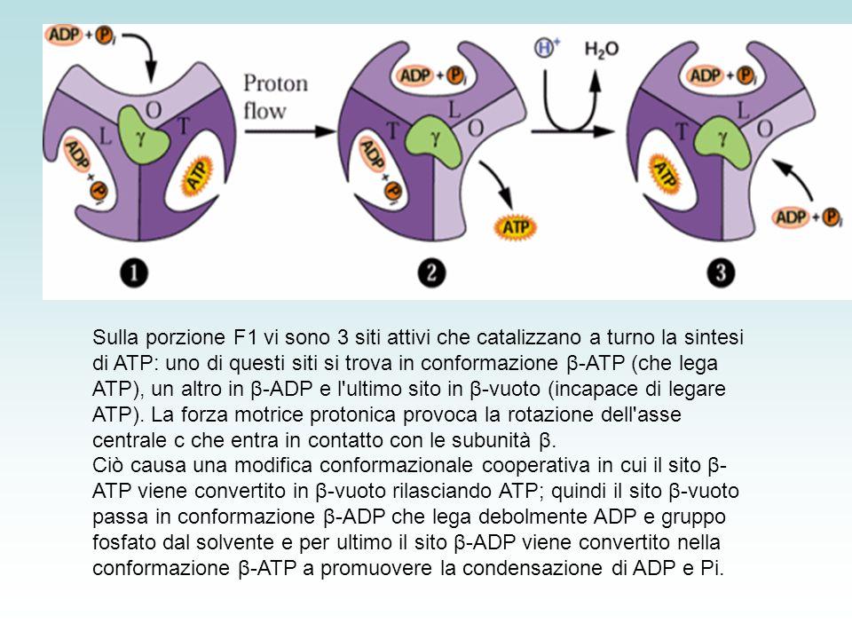 Sulla porzione F1 vi sono 3 siti attivi che catalizzano a turno la sintesi di ATP: uno di questi siti si trova in conformazione β-ATP (che lega ATP), un altro in β-ADP e l ultimo sito in β-vuoto (incapace di legare ATP). La forza motrice protonica provoca la rotazione dell asse centrale c che entra in contatto con le subunità β.