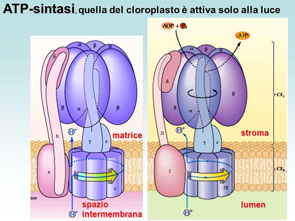 ATP-sintasi, quella del cloroplasto è attiva solo alla luce
