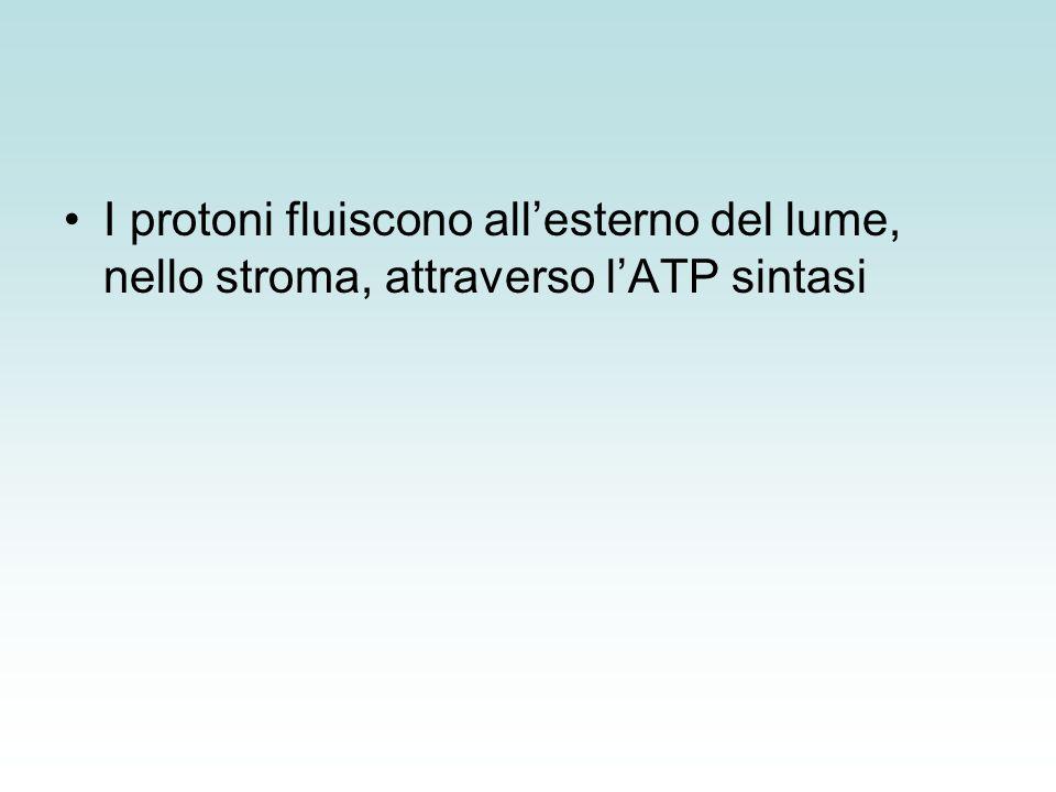 I protoni fluiscono all'esterno del lume, nello stroma, attraverso l'ATP sintasi
