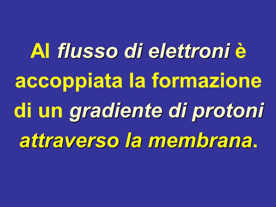 Al flusso di elettroni è accoppiata la formazione di un gradiente di protoni attraverso la membrana.