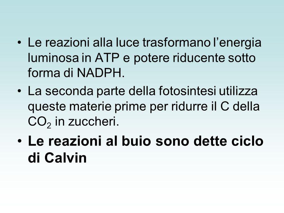 Le reazioni al buio sono dette ciclo di Calvin