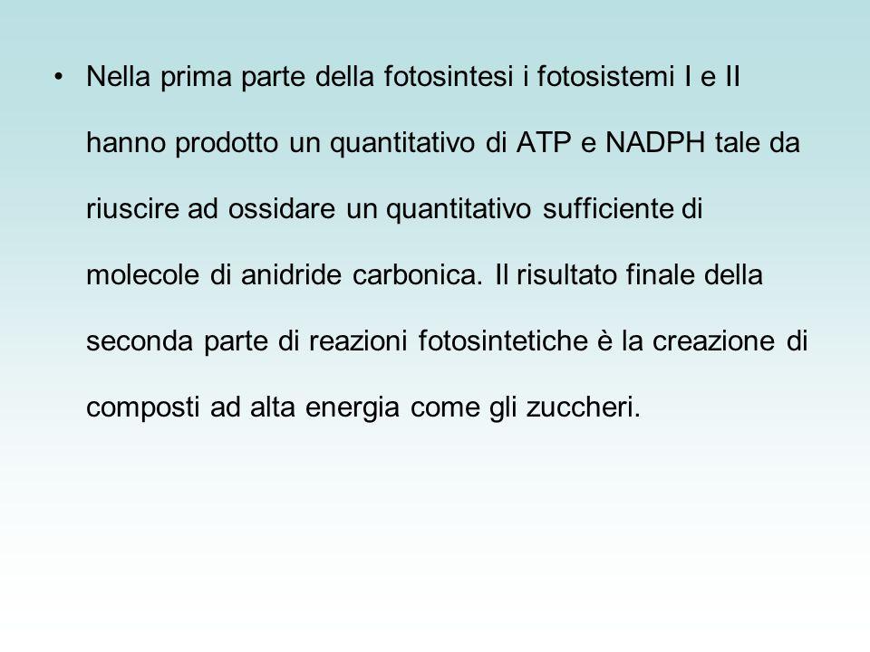 Nella prima parte della fotosintesi i fotosistemi I e II hanno prodotto un quantitativo di ATP e NADPH tale da riuscire ad ossidare un quantitativo sufficiente di molecole di anidride carbonica.