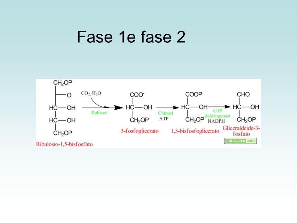 Fase 1e fase 2