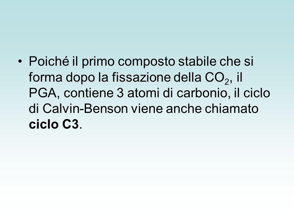 Poiché il primo composto stabile che si forma dopo la fissazione della CO2, il PGA, contiene 3 atomi di carbonio, il ciclo di Calvin-Benson viene anche chiamato ciclo C3.