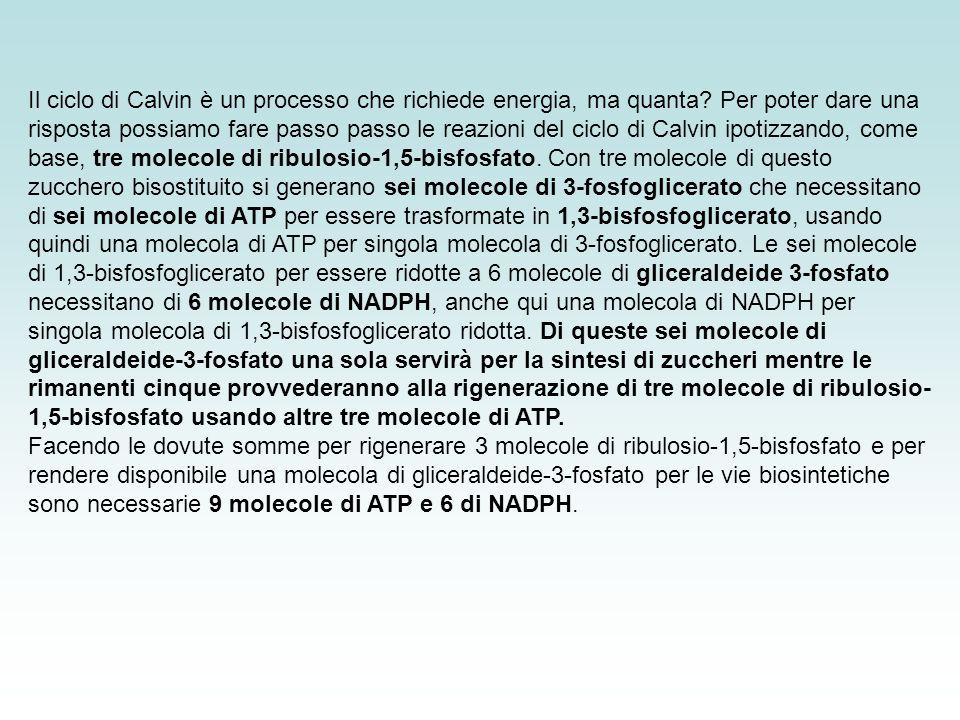 Il ciclo di Calvin è un processo che richiede energia, ma quanta