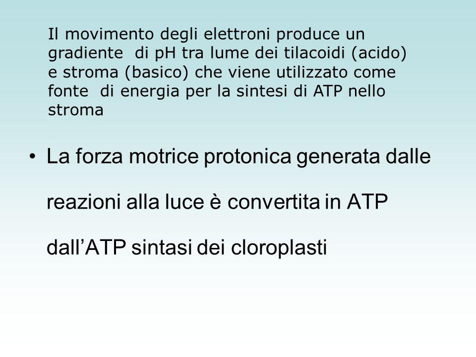 Il movimento degli elettroni produce un gradiente di pH tra lume dei tilacoidi (acido) e stroma (basico) che viene utilizzato come fonte di energia per la sintesi di ATP nello stroma