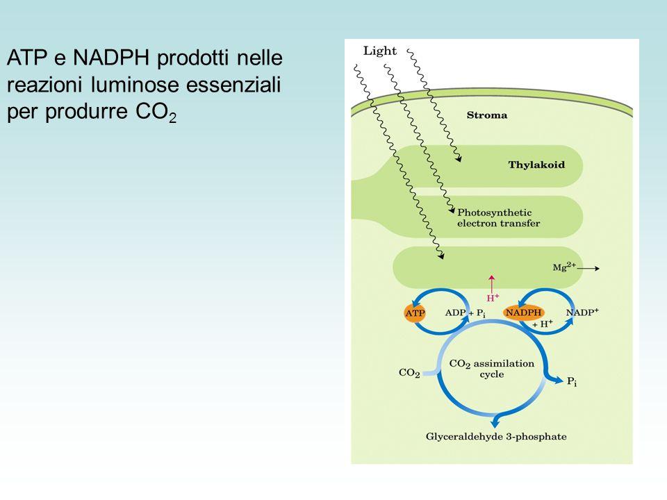 ATP e NADPH prodotti nelle reazioni luminose essenziali per produrre CO2