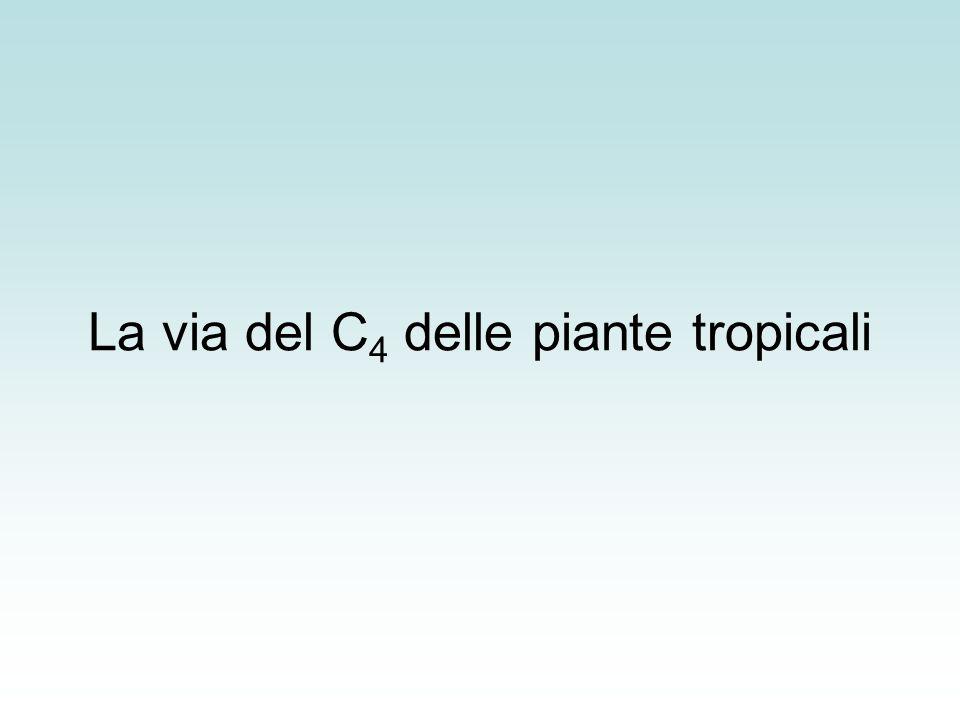 La via del C4 delle piante tropicali