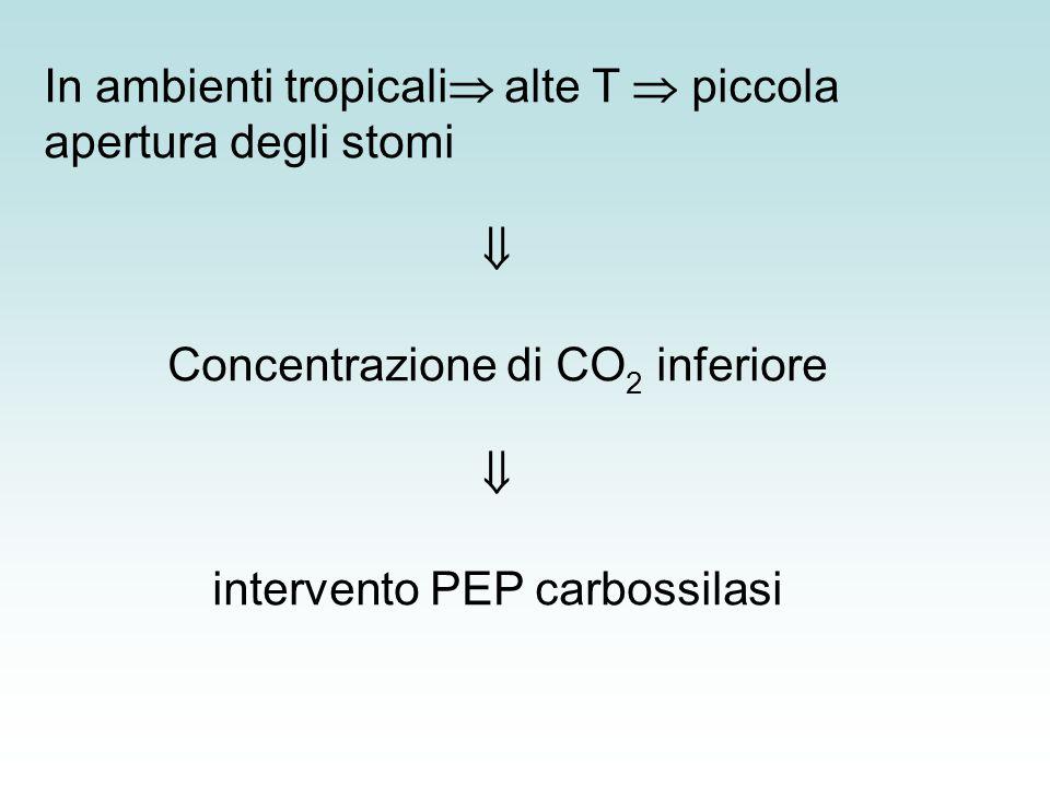 In ambienti tropicali alte T  piccola apertura degli stomi