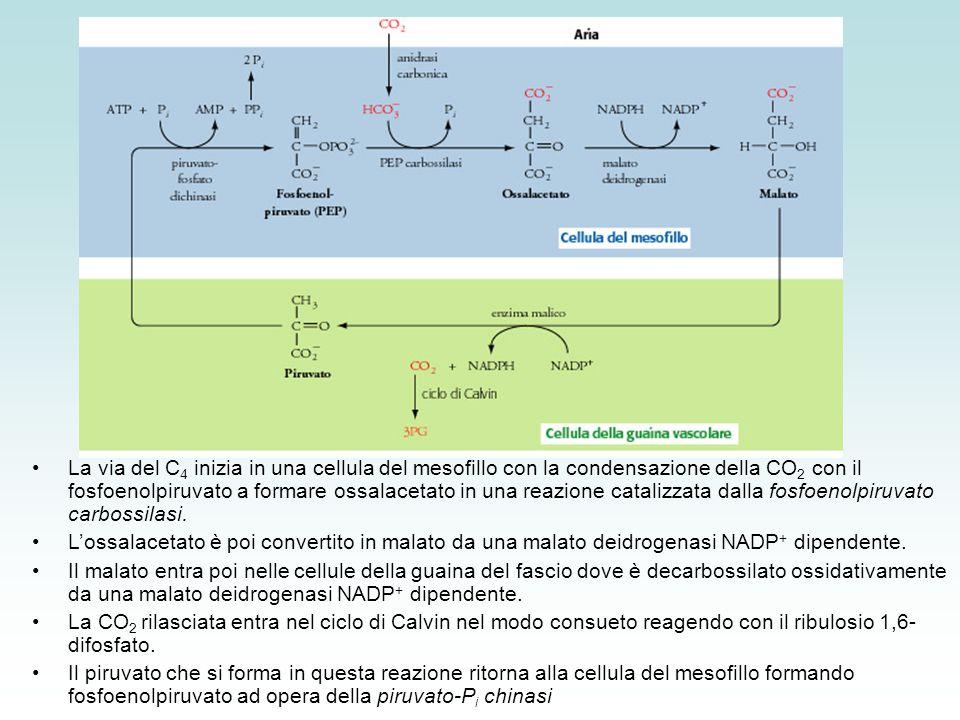 La via del C4 inizia in una cellula del mesofillo con la condensazione della CO2 con il fosfoenolpiruvato a formare ossalacetato in una reazione catalizzata dalla fosfoenolpiruvato carbossilasi.