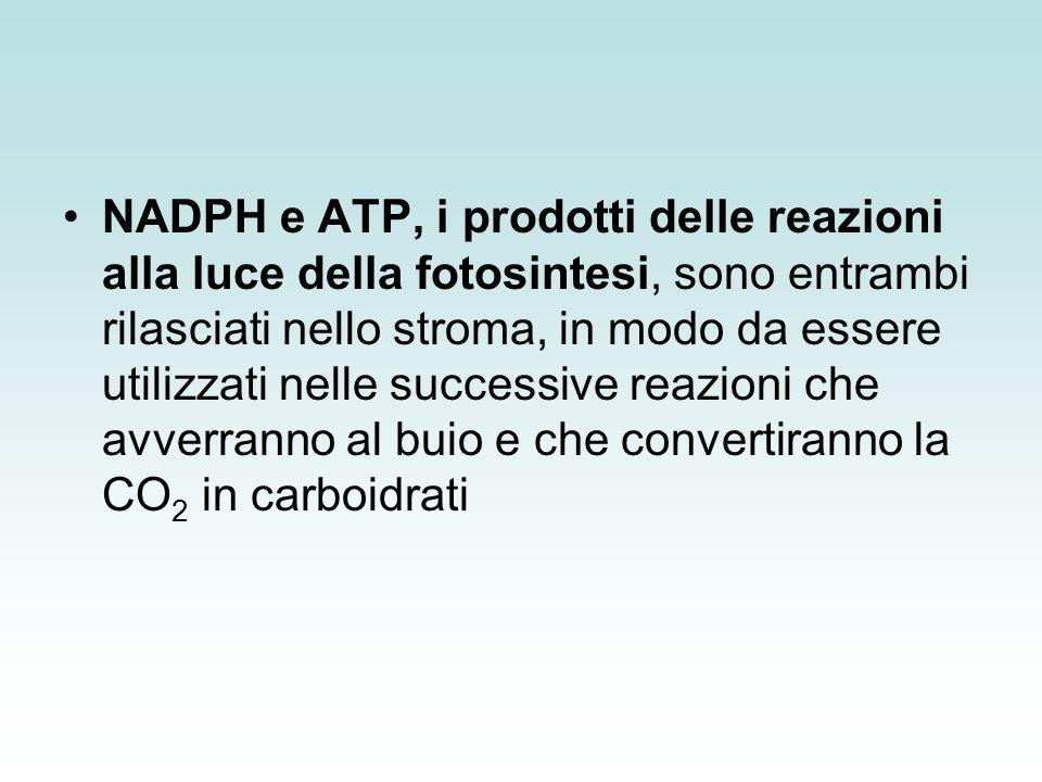 NADPH e ATP, i prodotti delle reazioni alla luce della fotosintesi, sono entrambi rilasciati nello stroma, in modo da essere utilizzati nelle successive reazioni che avverranno al buio e che convertiranno la CO2 in carboidrati