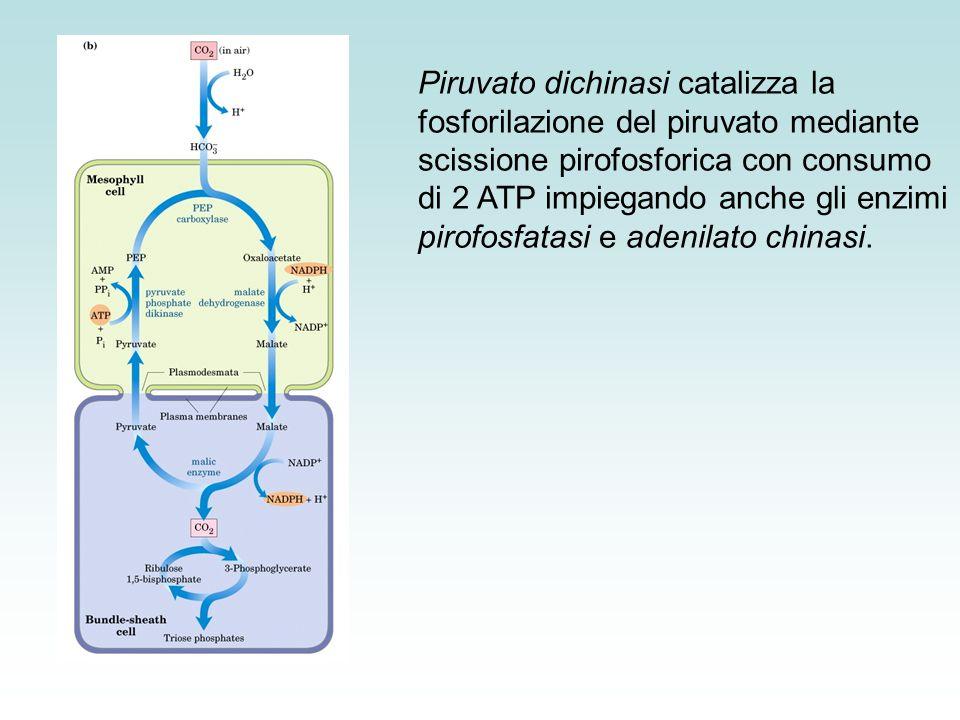 Piruvato dichinasi catalizza la fosforilazione del piruvato mediante scissione pirofosforica con consumo di 2 ATP impiegando anche gli enzimi pirofosfatasi e adenilato chinasi.