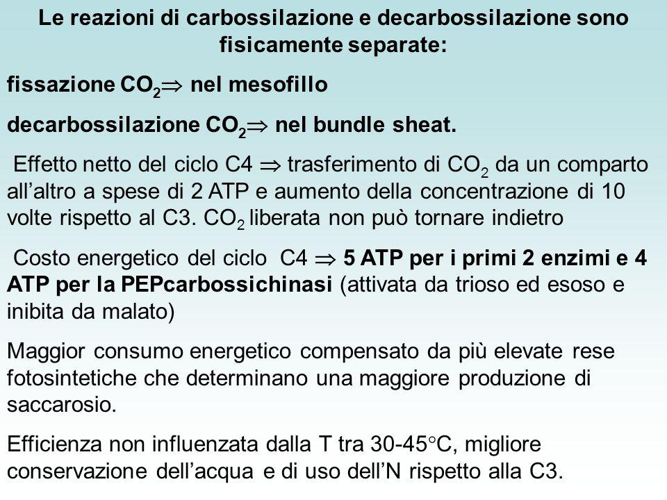 fissazione CO2 nel mesofillo decarbossilazione CO2 nel bundle sheat.