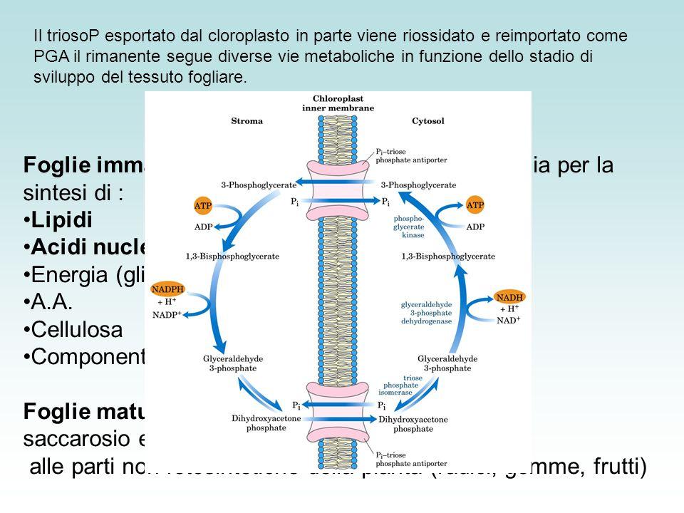 Acidi nucleici (via pentosio fosfati) Energia (glicolisi) A.A.