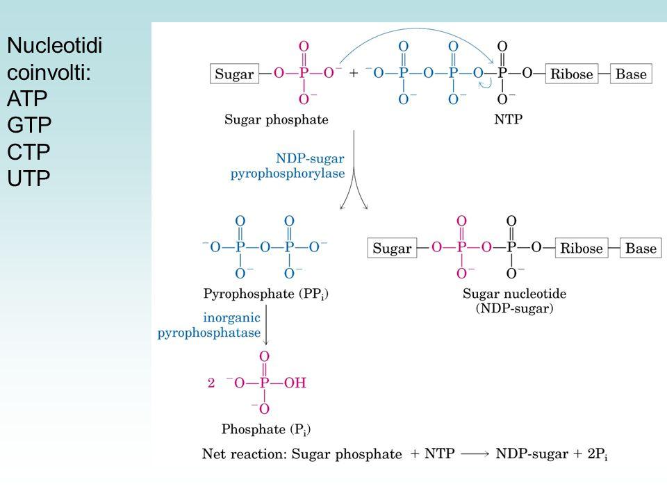 Nucleotidi coinvolti: ATP GTP CTP UTP