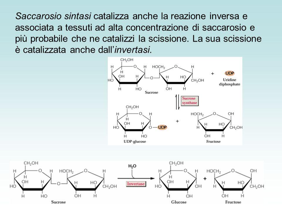 Saccarosio sintasi catalizza anche la reazione inversa e associata a tessuti ad alta concentrazione di saccarosio e più probabile che ne catalizzi la scissione. La sua scissione è catalizzata anche dall'invertasi.