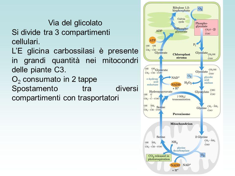 Via del glicolato Si divide tra 3 compartimenti cellulari. L'E glicina carbossilasi è presente in grandi quantità nei mitocondri delle piante C3.