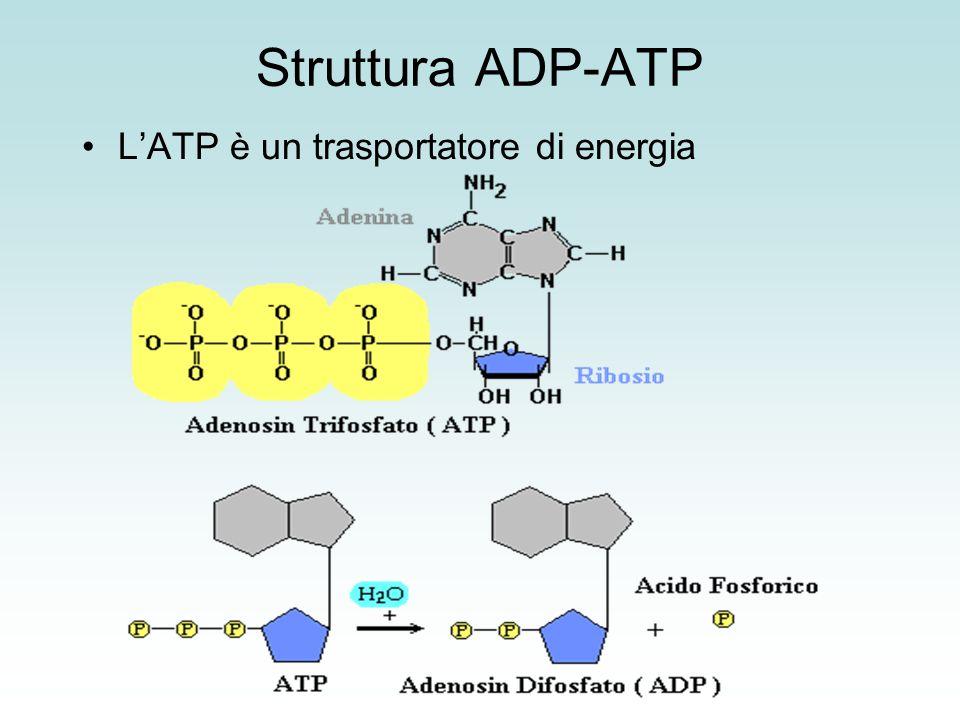 Struttura ADP-ATP L'ATP è un trasportatore di energia