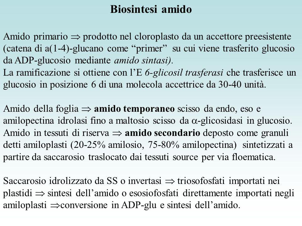 Biosintesi amido