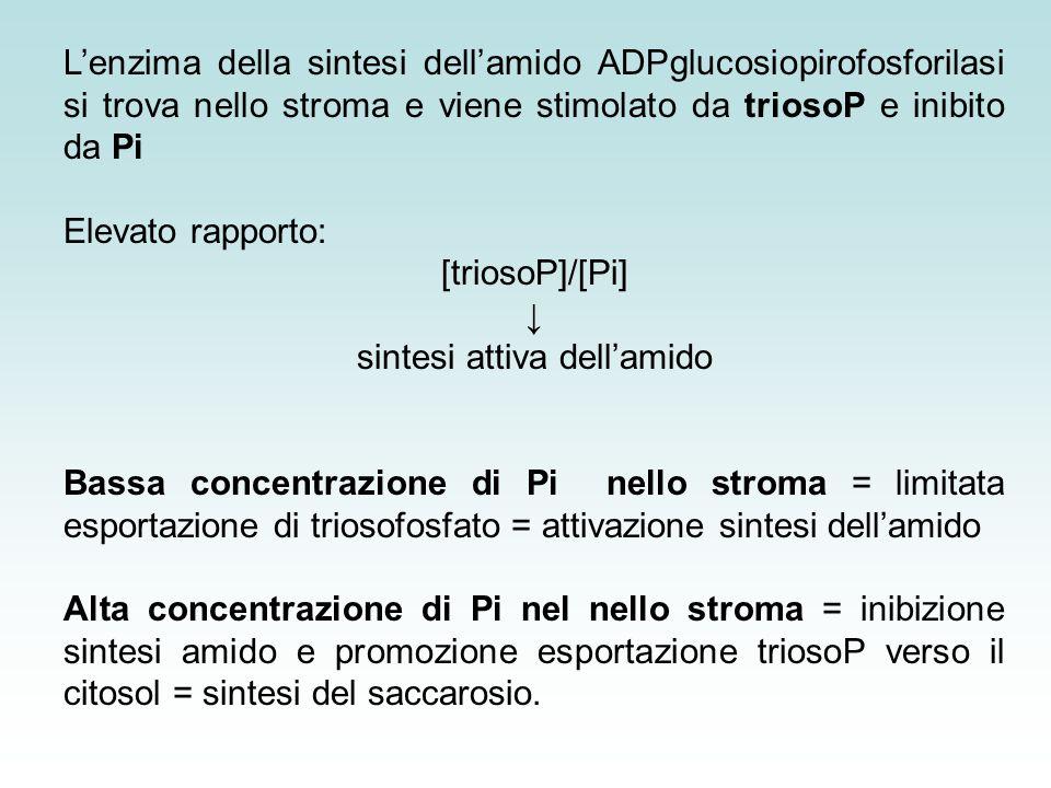 sintesi attiva dell'amido