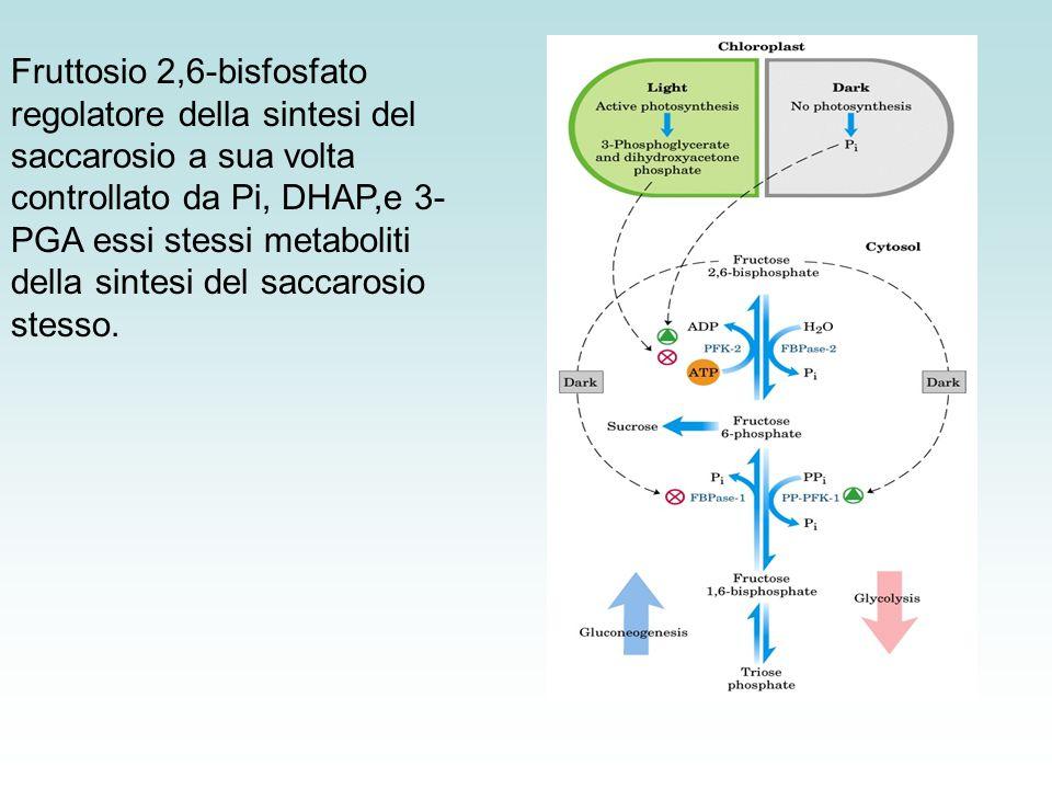 Fruttosio 2,6-bisfosfato regolatore della sintesi del saccarosio a sua volta controllato da Pi, DHAP,e 3-PGA essi stessi metaboliti della sintesi del saccarosio stesso.