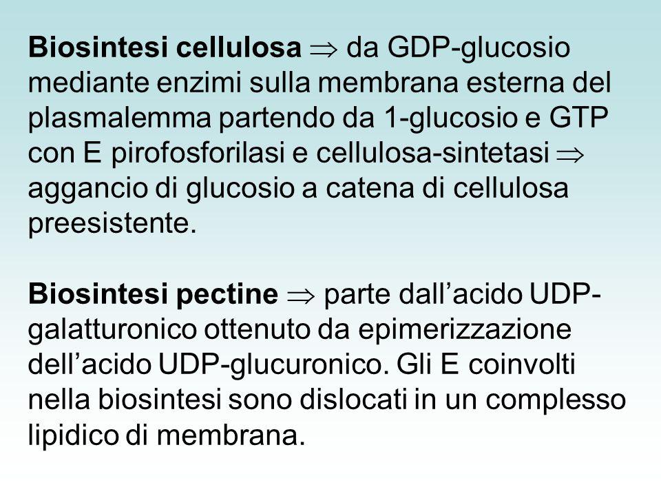 Biosintesi cellulosa  da GDP-glucosio mediante enzimi sulla membrana esterna del plasmalemma partendo da 1-glucosio e GTP con E pirofosforilasi e cellulosa-sintetasi  aggancio di glucosio a catena di cellulosa preesistente.