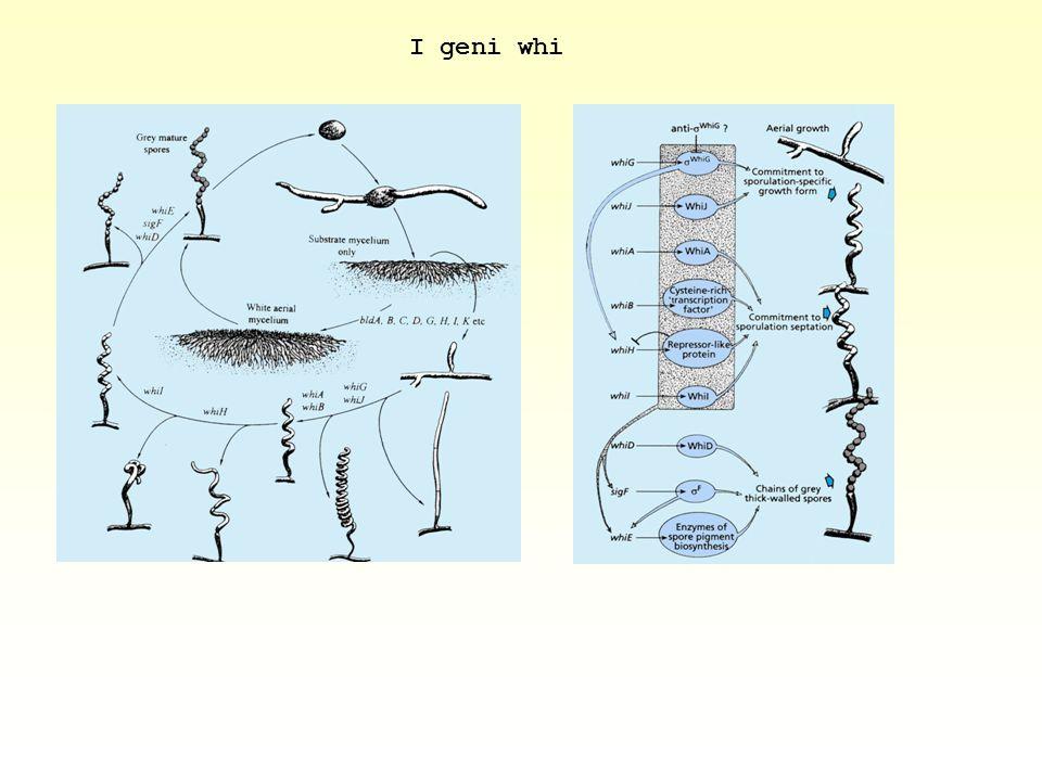 I geni whi