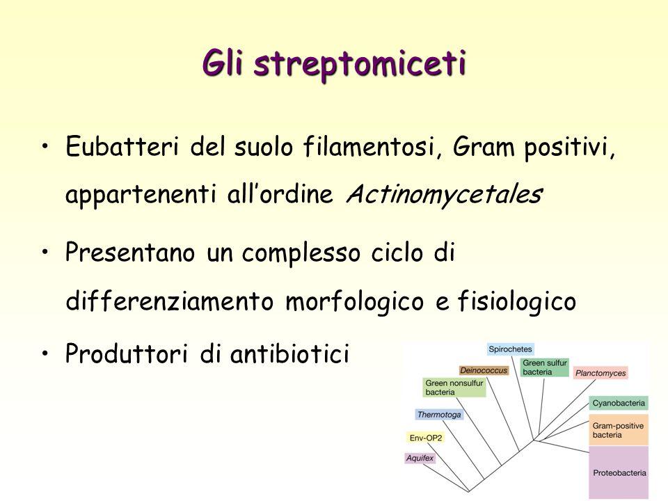 Gli streptomiceti Eubatteri del suolo filamentosi, Gram positivi, appartenenti all'ordine Actinomycetales.