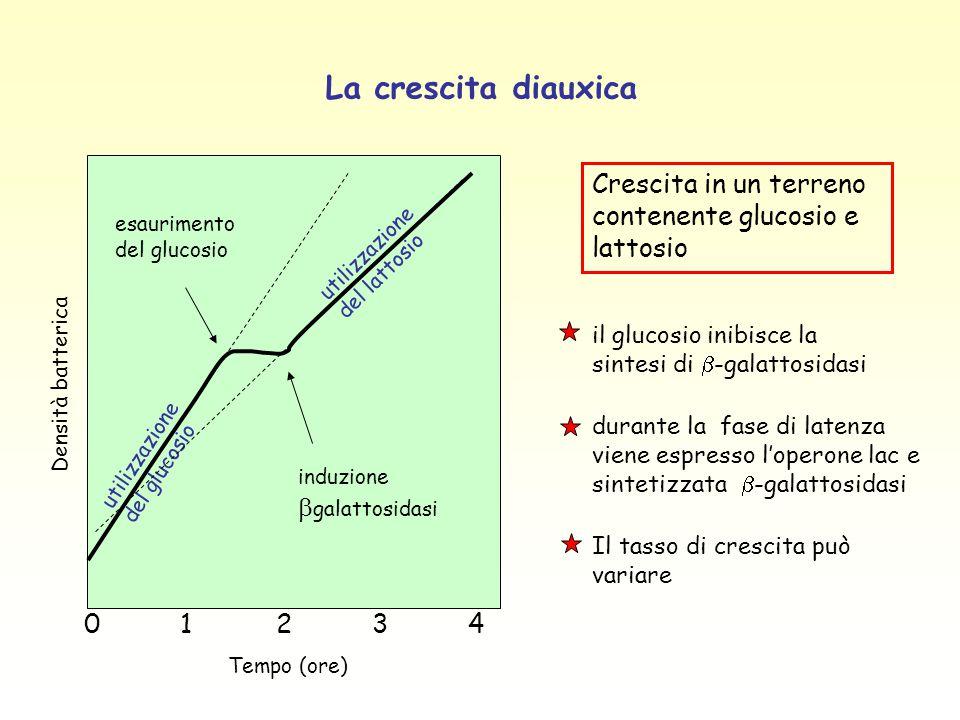 La crescita diauxica 0 1 2 3 4. Tempo (ore) esaurimento del glucosio. induzione bgalattosidasi. utilizzazione del glucosio.