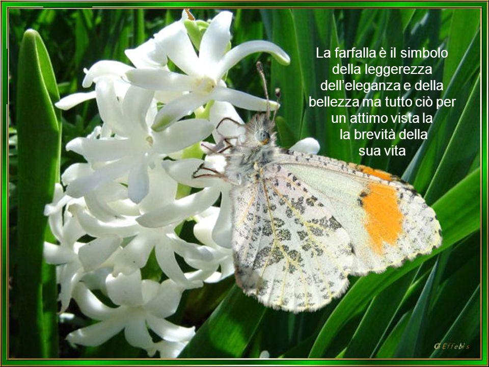 La farfalla è il simbolo della leggerezza dell'eleganza e della bellezza ma tutto ciò per un attimo vista la