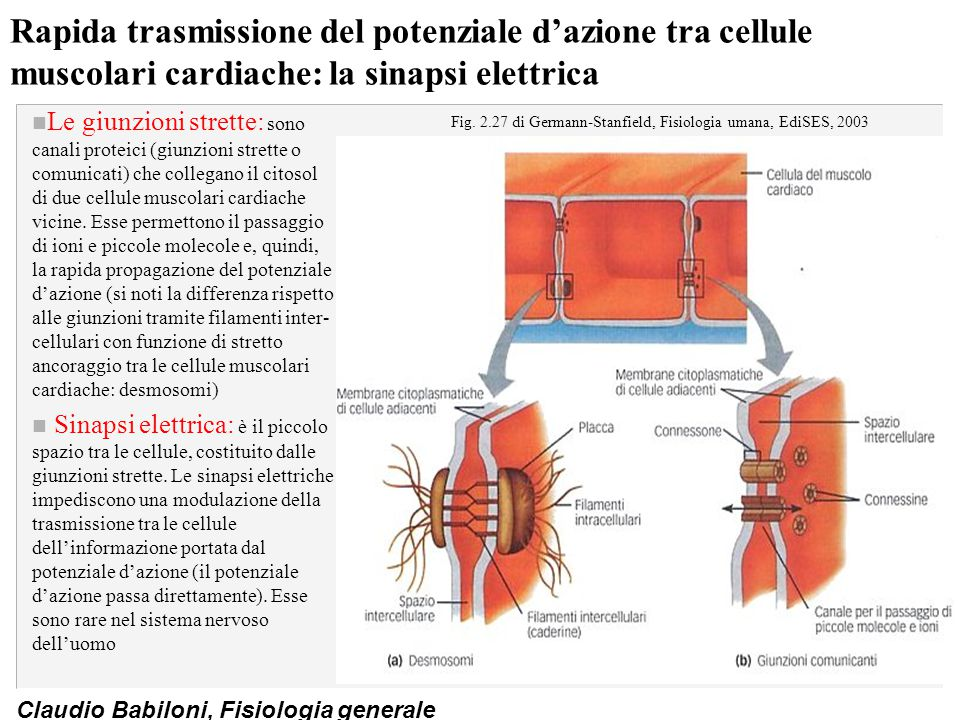 Fig. 2.27 di Germann-Stanfield, Fisiologia umana, EdiSES, 2003