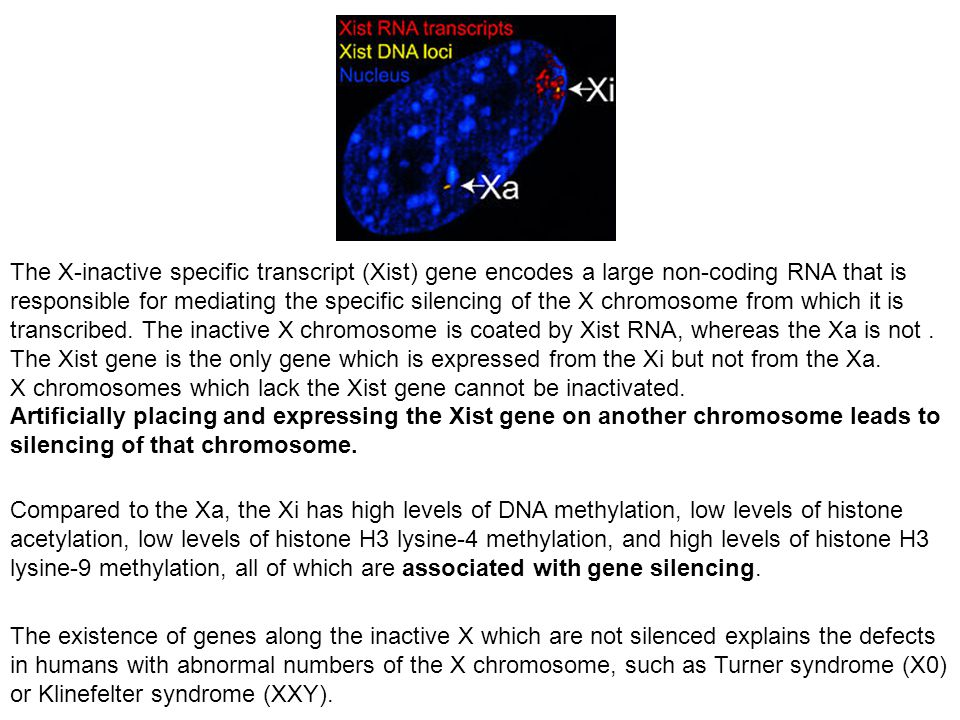 The X-inactive specific transcript (Xist) gene encodes a large non-coding RNA that is responsible for mediating the specific silencing of the X chromosome from which it is transcribed. The inactive X chromosome is coated by Xist RNA, whereas the Xa is not . The Xist gene is the only gene which is expressed from the Xi but not from the Xa.