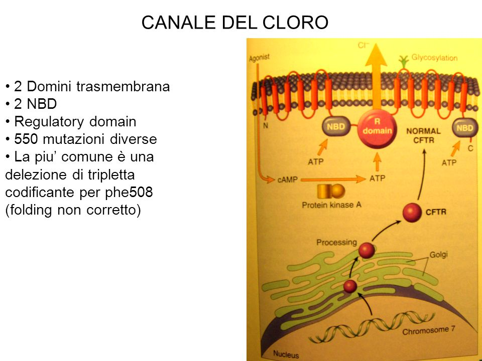 CANALE DEL CLORO 2 Domini trasmembrana 2 NBD Regulatory domain