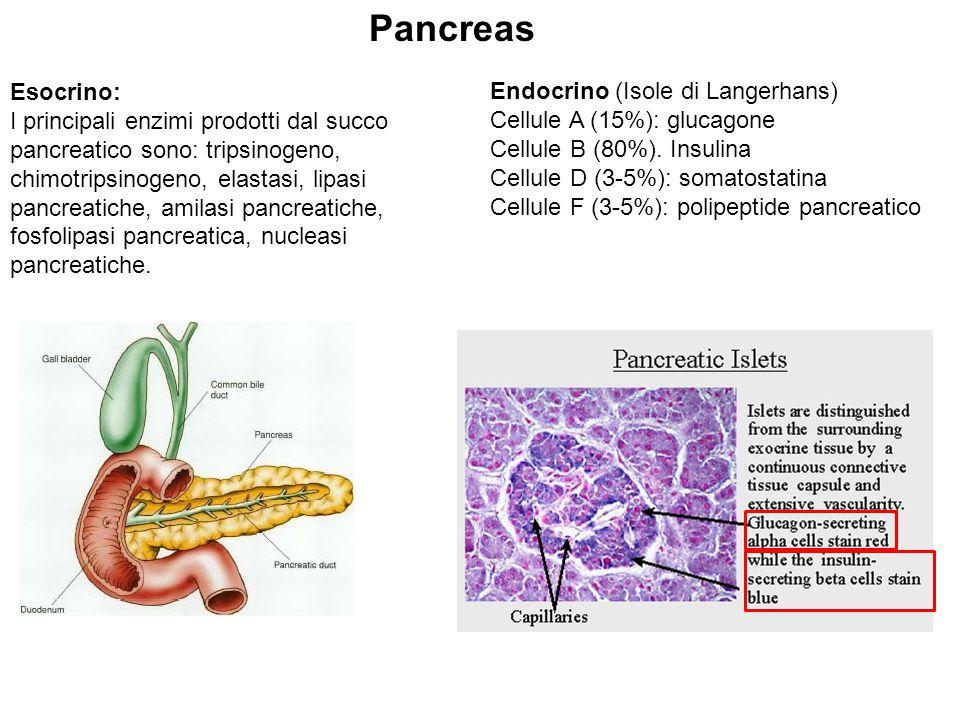 Pancreas Esocrino: Endocrino (Isole di Langerhans)