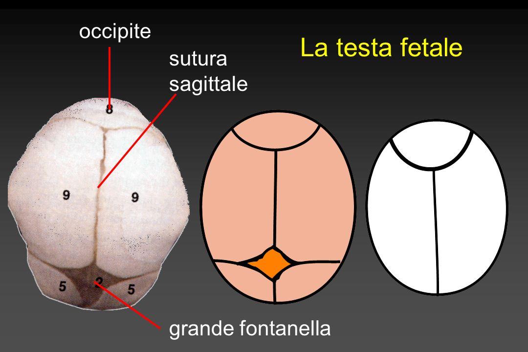 occipite La testa fetale sutura sagittale grande fontanella